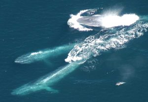 Chilean Blue Whales as a Case Study to Illustrate Methods ...