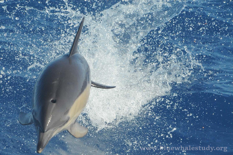 Common dolphin head on