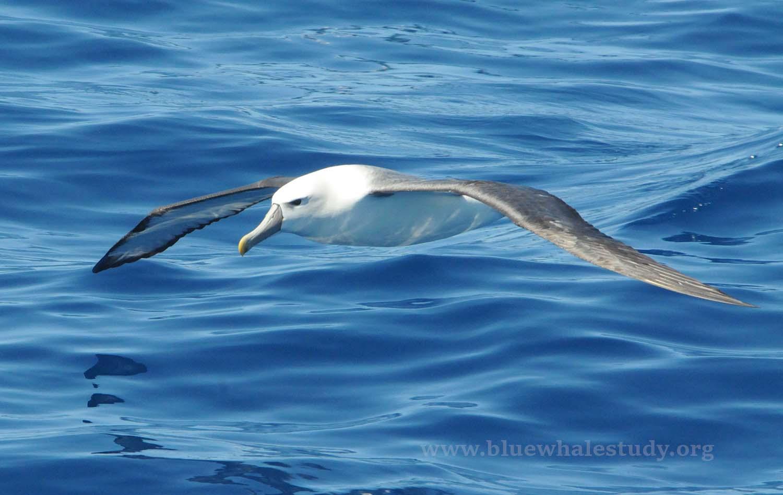 Shy albatross low